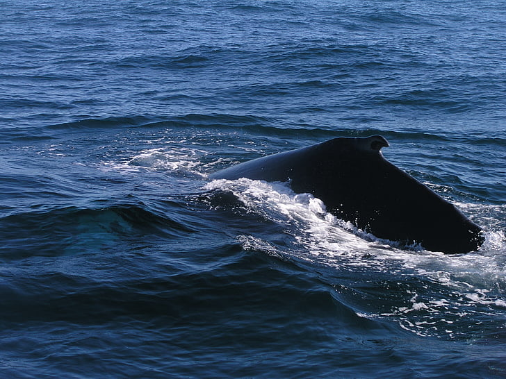 Ocean, knölvalar, Whale, havet, vatten, djur, Marine