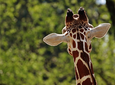 giraffe, zoo, animal, animal portrait, tierpark hellabrunn, munich, one animal