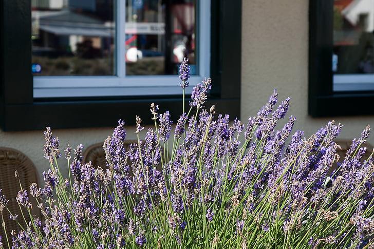 bloem, lavendel, kruiden, Spice, geur, Blossom, Bloom