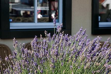 flor, lavanda, ervas, especiaria, fragrância, flor, flor