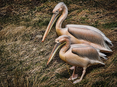 pelicans, birds, water, pond, water birds, nature, wild birds