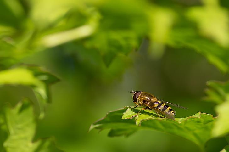 syrphid amb cinturó, navegador, primavera, dípters, insecte, natura, animal