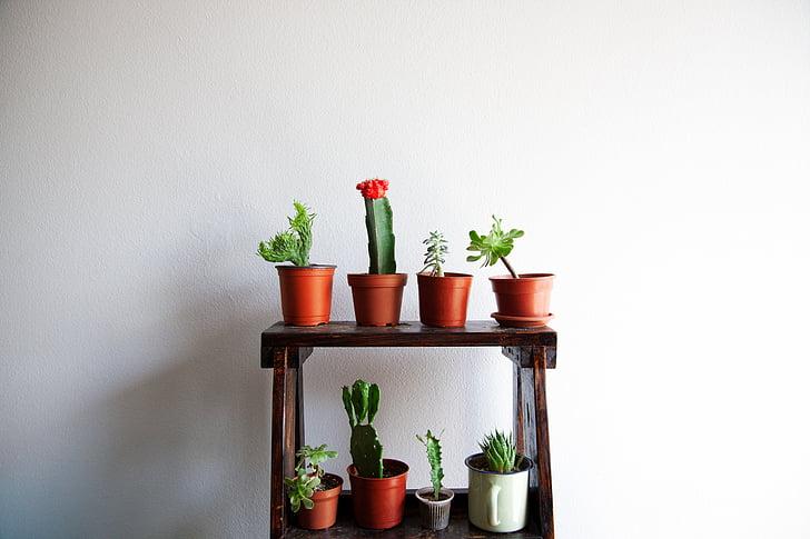 Cactus, Succulent, Indoor, decor, Flora
