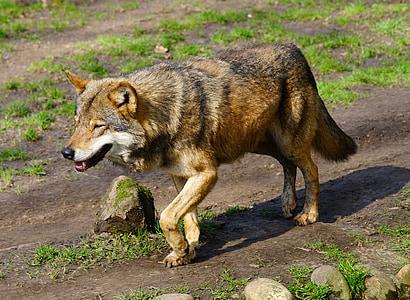 wolf, predator, wild animal, animal world, nature, pack animal, canis lupus