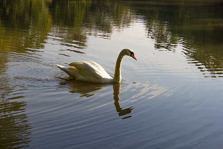 swan, water, nature, pond