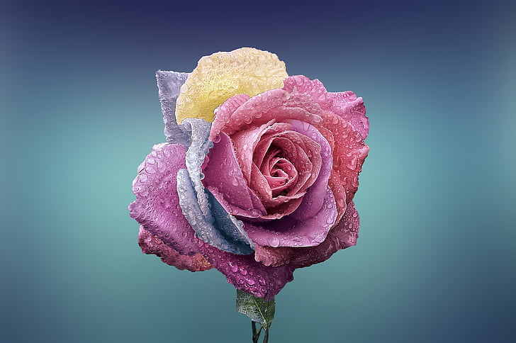 rose, beautiful, beauty, bloom, blooming, blossom, blue background