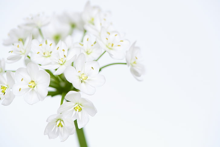 flower, flowers, white, white flower, white flowers, tender, allium flower