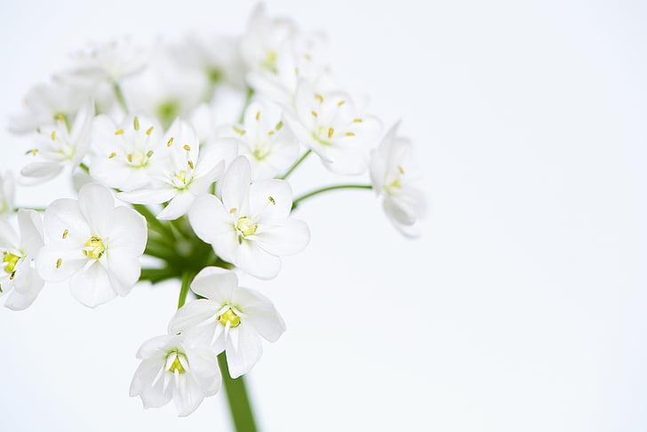 bunga, bunga, putih, bunga putih, bunga putih, tender, bunga allium