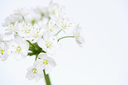 flor, flors, blanc, flor blanca, flors blanques, tendre, flor d'Allium