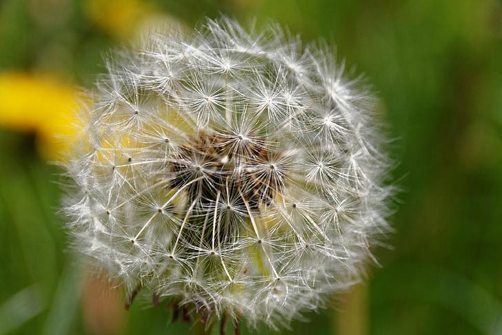 Regrat, število lev, plevela, zdravilna rastlina, narave, naturopathy, zdravilna rastlina