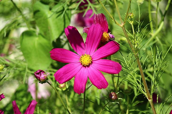 flower, spring, cosmea, cosmos plant, cosmos bipinnatus, pink color, nature