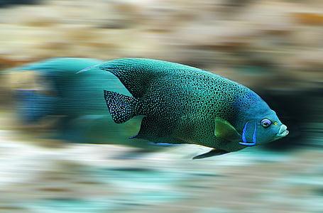 riba, akvarij, Brzina, Skala, vode, priroda, životinja