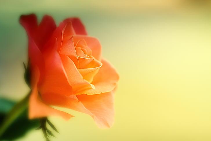 Троянда, квітка, помаранчевий, макрос, закрити, цвітіння, цвітіння