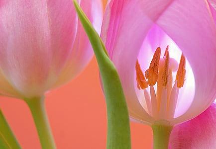 tulip, flower, blossom, bloom, plant, nature, close