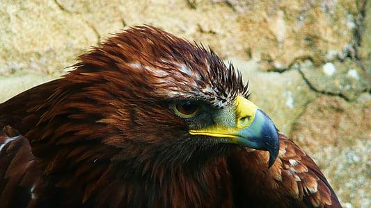 Eagle, lintu, eläinten, Wildlife, Predator, Raptor, Eagle - lintu