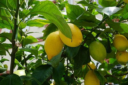 レモン, ツリー, グリーン, サワー, フルーツ, レモンの木
