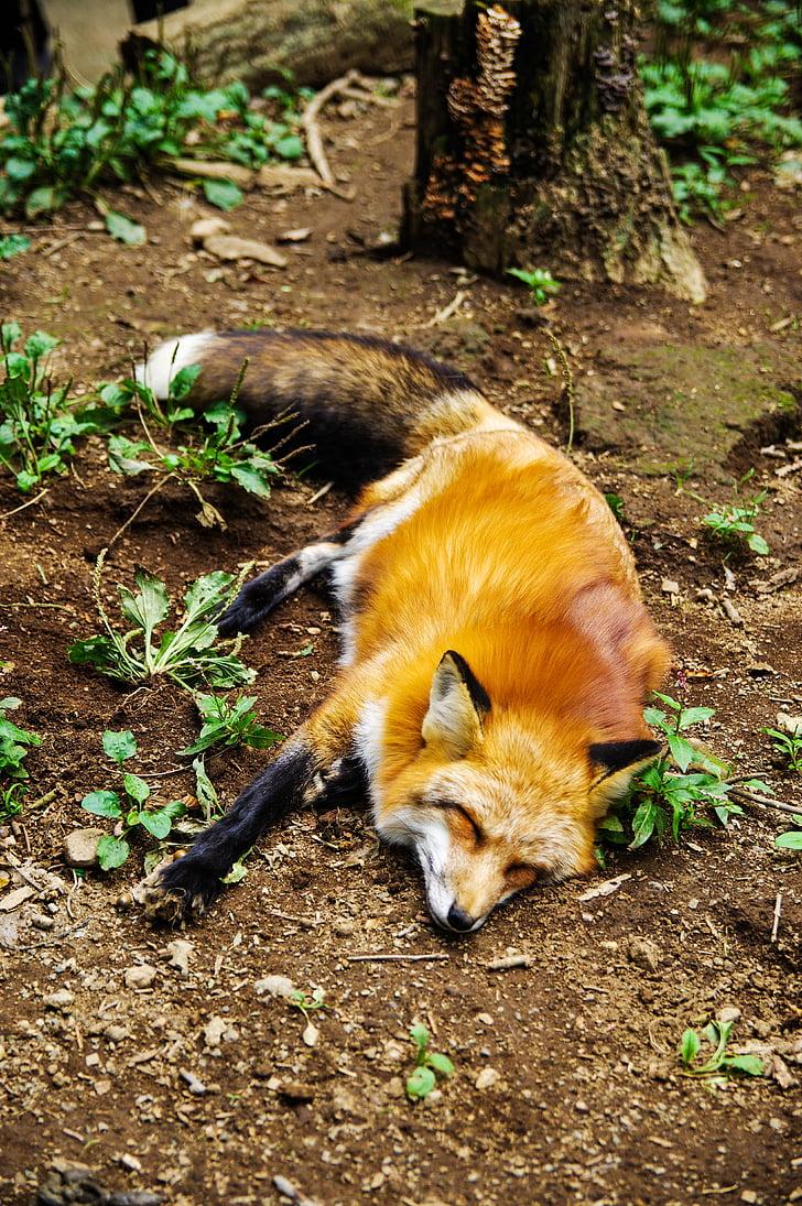 hewan, Fox, tidur, tidur, Manis, alam, Mamalia
