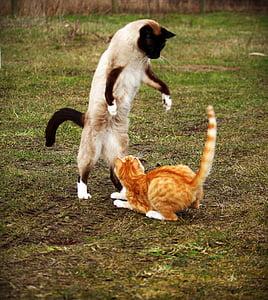 cat, siamese cat, red mackerel tabby, red cat, fight, play, siamese