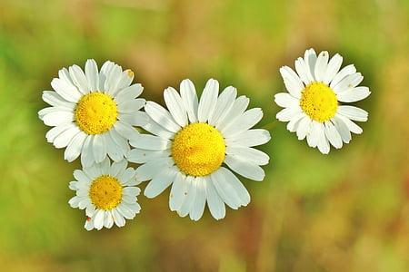 카모마일, 약 나물, 카모마일 꽃, 약 나물, 허벌 의학, 자연 치유, 꽃