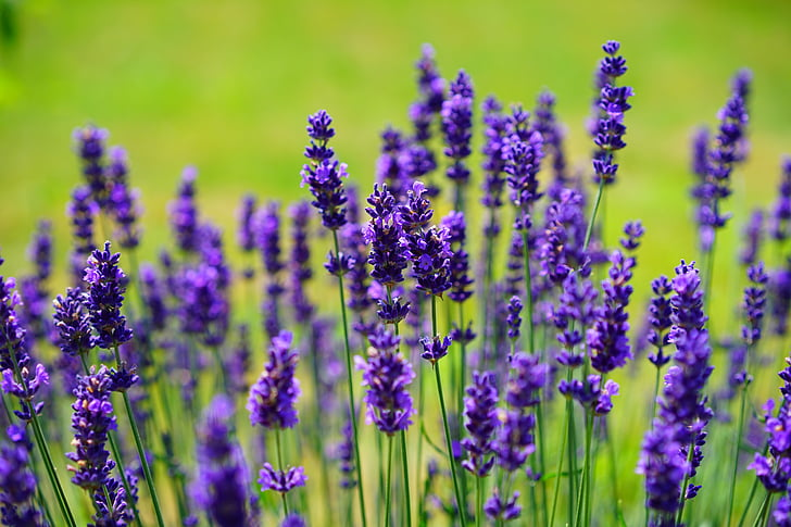 lavendel, blomster, lilla, vilde plante, wildblue, lavendel blomster, ægte lavendel