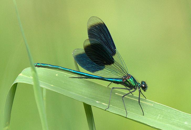 laumžirgis, blizga, vabzdžių, uždaryti, sparnai-sklandžiai, lapų, skaidri