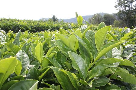 čaj, čaj plantáž, rastliny, list, poľnohospodárstvo, farma, Príroda