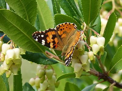vlinder, libar, Arbutus bloem, aardbeiboom, Distelvlinder, Vanesa, migreren dels kaarten