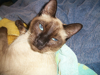 siamese cat, cat, feline, oriental cat, asian cat, cat breed, purebred cat