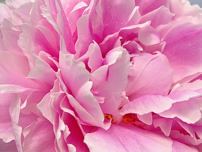 peony, the heart of peony, flower, pink, petals, poetry, pink Color