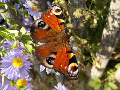Peacock vlinder, vlinder, insect, sluiten, tuin bloemen, vlinder - insecten, natuur