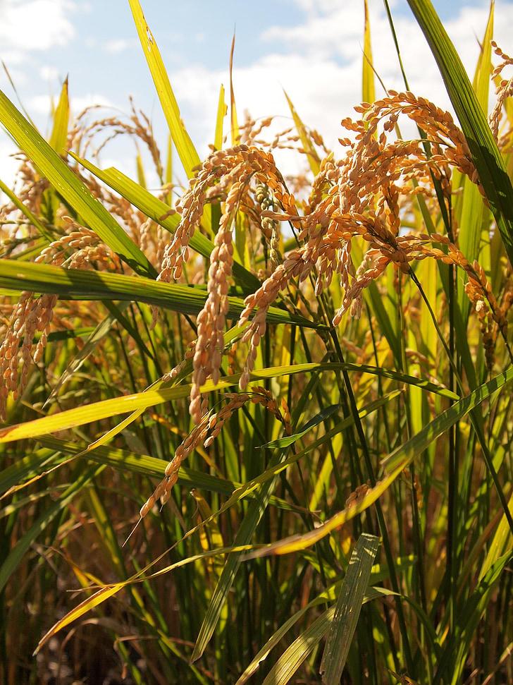 yamada's rice fields, ear of rice, agriculture, farmer, rice, grain, harvest