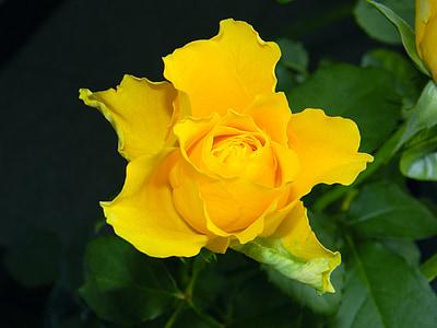 tõusis, lill, lilled, kollane, ilusad lilled, taim, Lähis Joonis