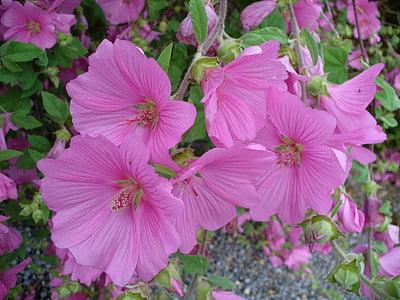 mályva, virág, természet, rózsaszín, növény