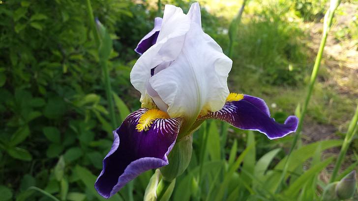 Iris, Blume, Frühling, Sonne, Natur, Garten, Frühlingsblumen
