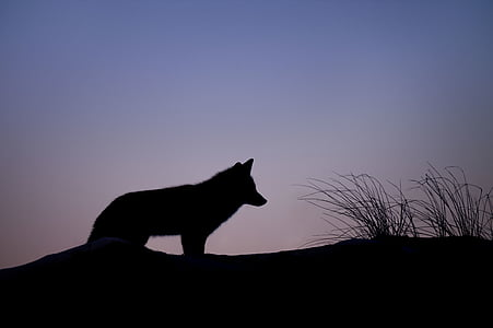 silhouette, wolf, grass, animals, wolves, land, sky