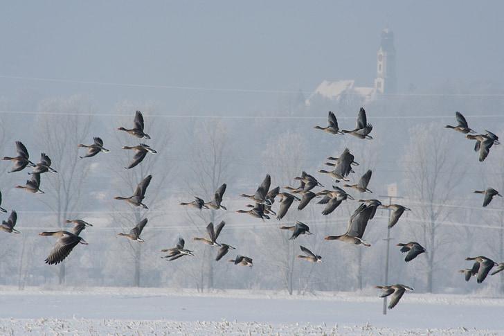 laukinių žąsų, skristi, žiemą, žąsys, paukščiai, pulko paukščiai, spiečius