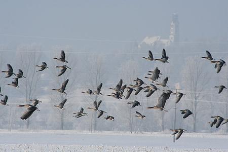 oques salvatges, volar, l'hivern, oques, ocells, ramat d'ocells, eixam