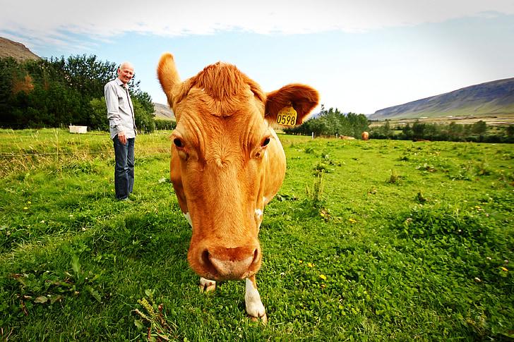 farmer, cow, iceland, animals