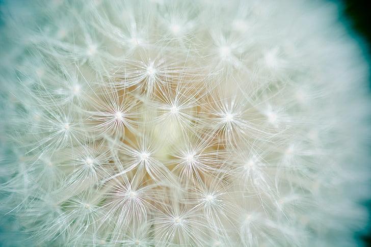 Löwenzahn, Samen, Anzahl der Löwen, Bildschirm-pilot, Bildschirm-Samen, in der Nähe, Natur