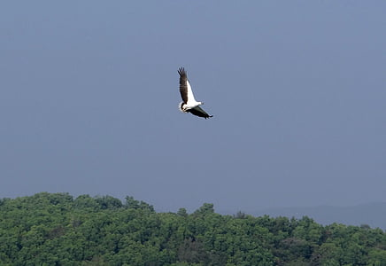 bílá bellied orel mořský, Haliaeetus leucogaster, bílá breasted orel mořský, dravý pták, pták, Raptor, Orel