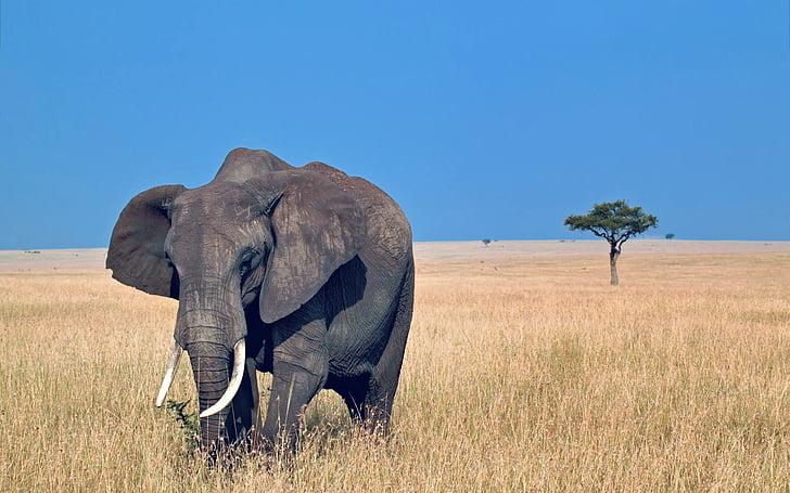 africa, elephant, wild, nature, animal