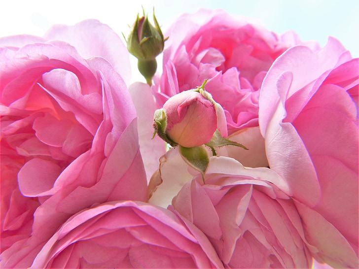 Rózsa, rózsaszín, világos rózsaszín, Blossom, Bloom, bud, zár