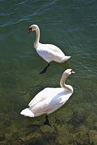 swan, water, lake, bird, water bird, white, nature