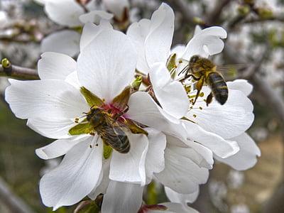 abelles, Libar, flors d'ametller