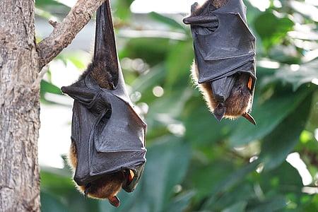 roussettes, bat, bat tropical, suspendu, arbre, mettre l'accent sur le premier plan, à l'extérieur