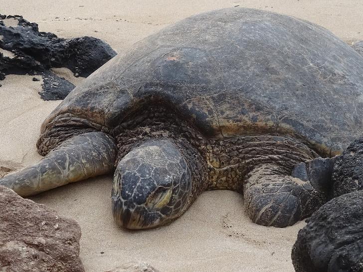 костенурка, meeresbewohner, животните, морски животни, тропически, море, honu