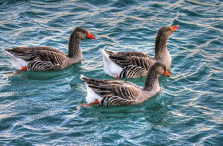 hanhet, vesi, Linnut, vesilinnut, uinti, eläimet, Luonto