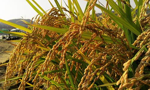 Sügis, põllumajandustootja, riisi, s, nisu, saagi, riigi