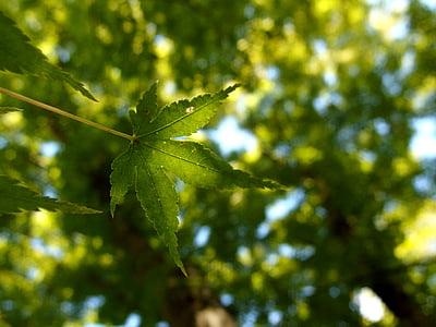 leaf, maple, leaves, foliage, plant, japanese maple, nature