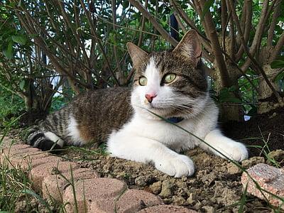 cat, animal, feline, cat lying, cat eyes, animals